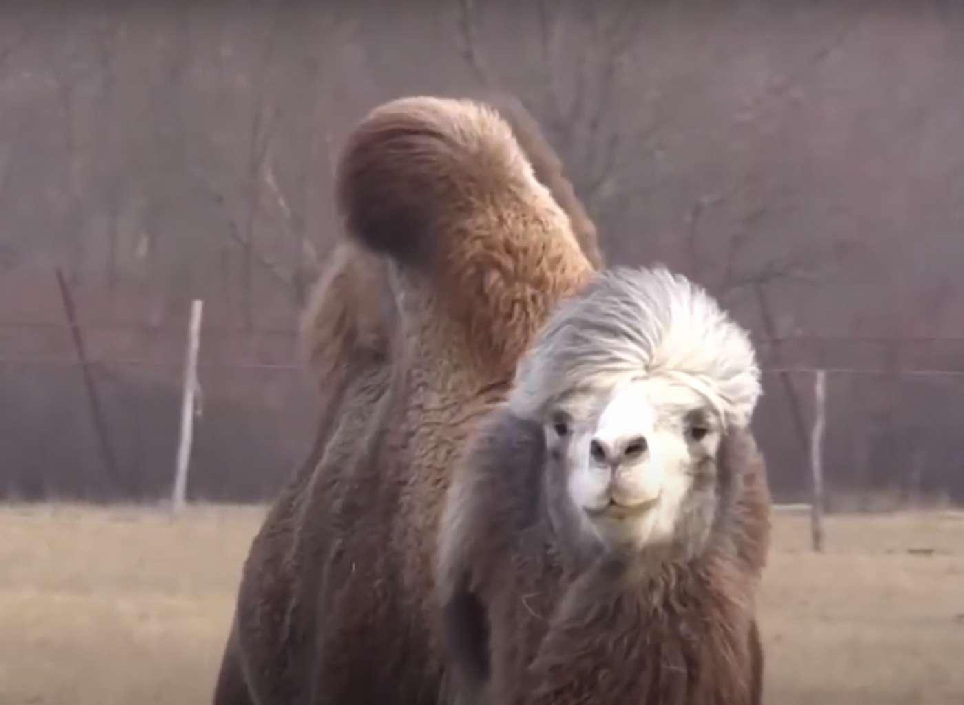 Полицейские спасли украденного верблюжонка