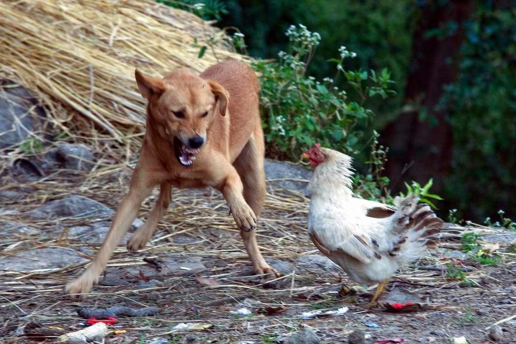Собаки в хуторе задушили соседских кур