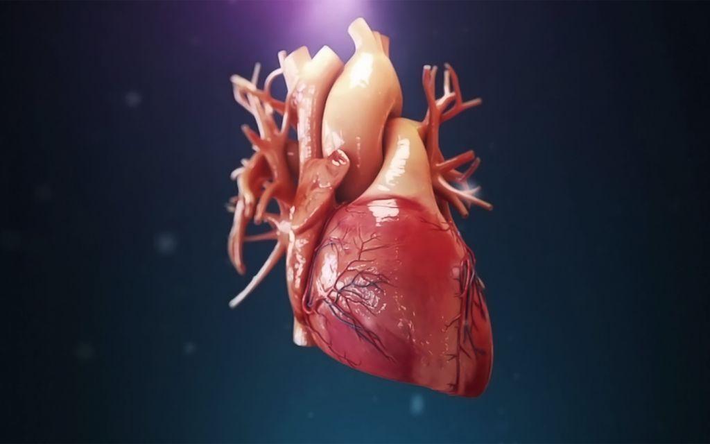 Если сердце — это мышца, то почему она не устаёт?