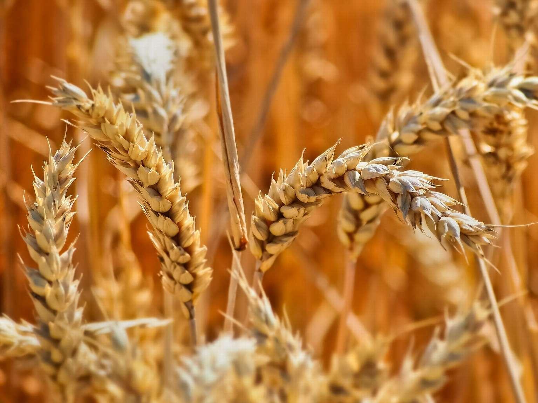 В Кашарском районе завершилась уборка ранних зерновых культур