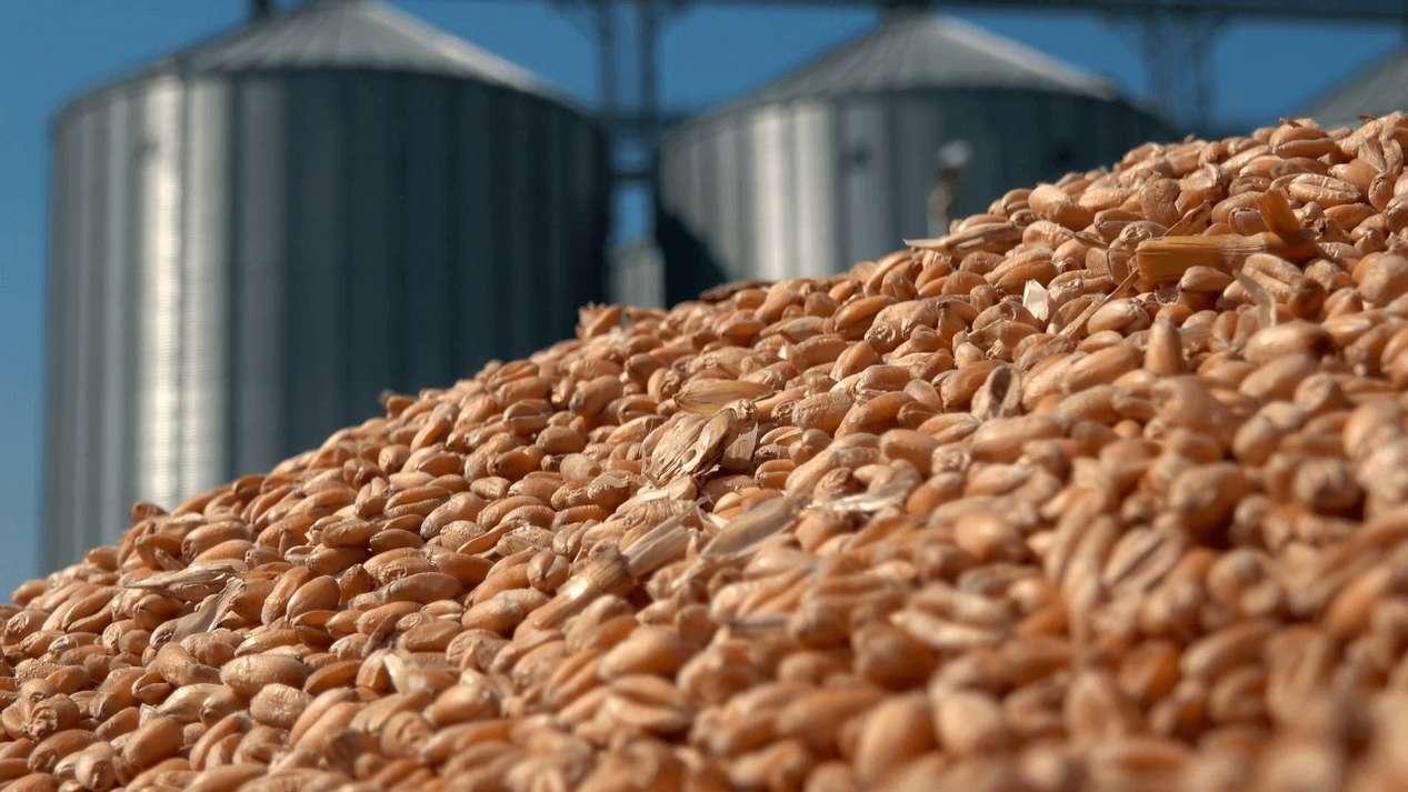 В Ростовской области подвели итоги мониторинга карантинных сорняков и вредителей для экспорта зерна