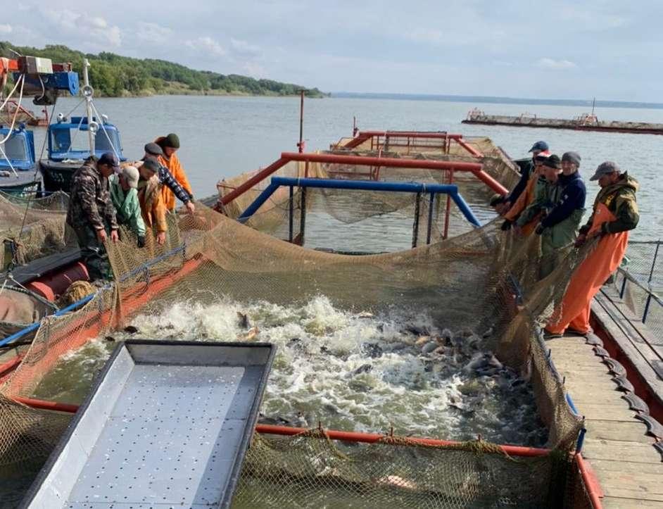 Донской регион занимает первое место по объему производства товарной рыбы в Южном федеральном округе